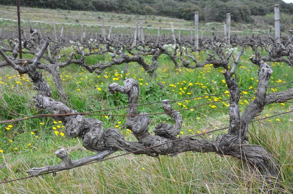 Clos de Caveau old vine