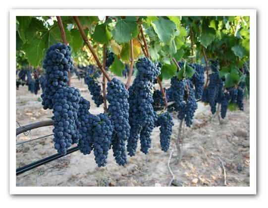 Organic-Grapes-in-Vineyard
