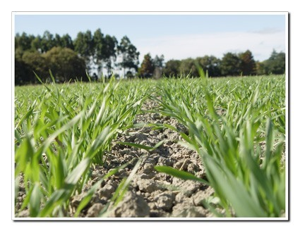 Wheatgrass-growing