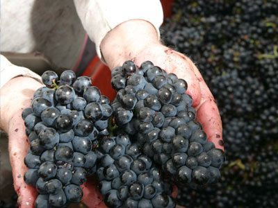 Beaujolais-Grapes