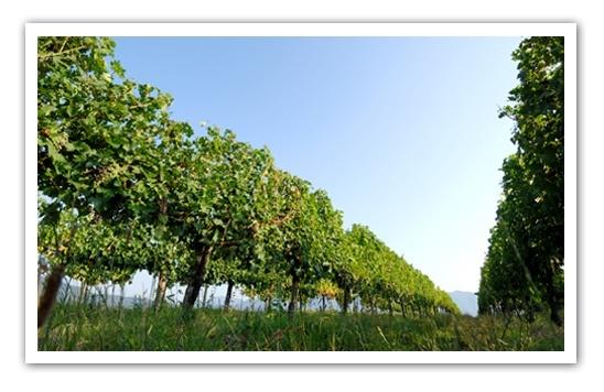 Barone-Pizzini-Vineyards