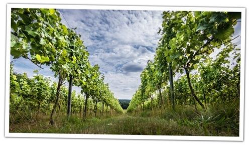 Between-the-vine-at-Albury-Vineyards
