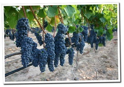 Tempranillo-grapes-in-the-Albet-i-Noya-vineyard