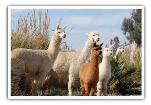 Alpacas-in-Emiliana-vineyard