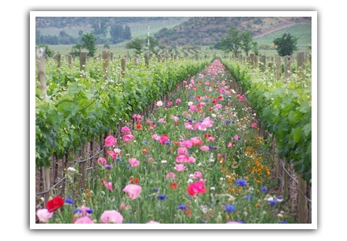 Cover-crops-growing-at-the-Emiliana-vineyards