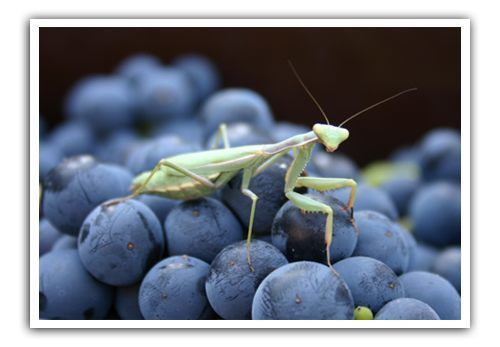 Preying-mantis-on-organic-grapes-in-vineyard