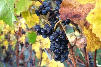 Untouched-grapes