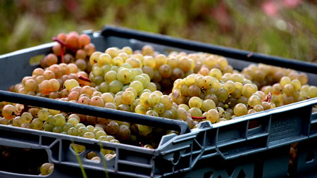 Grapes-being-harvested-at-Albury-Vineyard