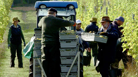 Nick-Wenman-and-other-workers-harvesting-grapes-at-Albury-Vineyards