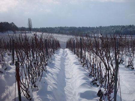 Fleury-vineyard-in-winter