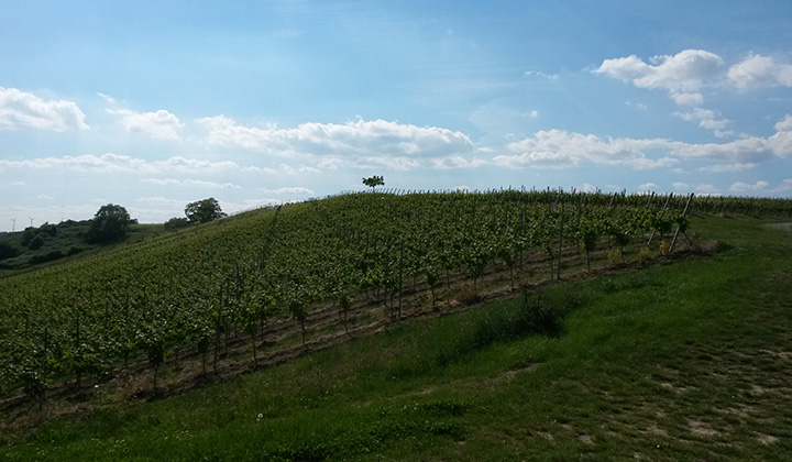 German Riesling wine region Rheinhessen