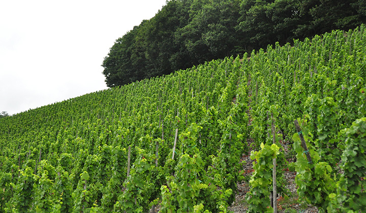 German Riesling wine region  Saar and Ruwer