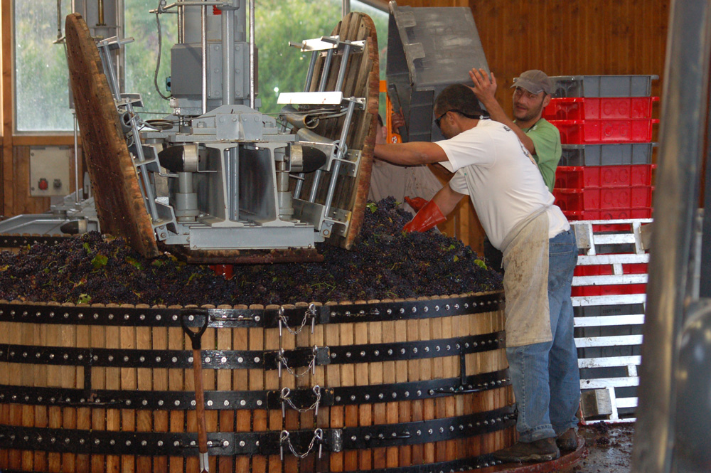 harvest pressing pinot noir grapes for Champagne production