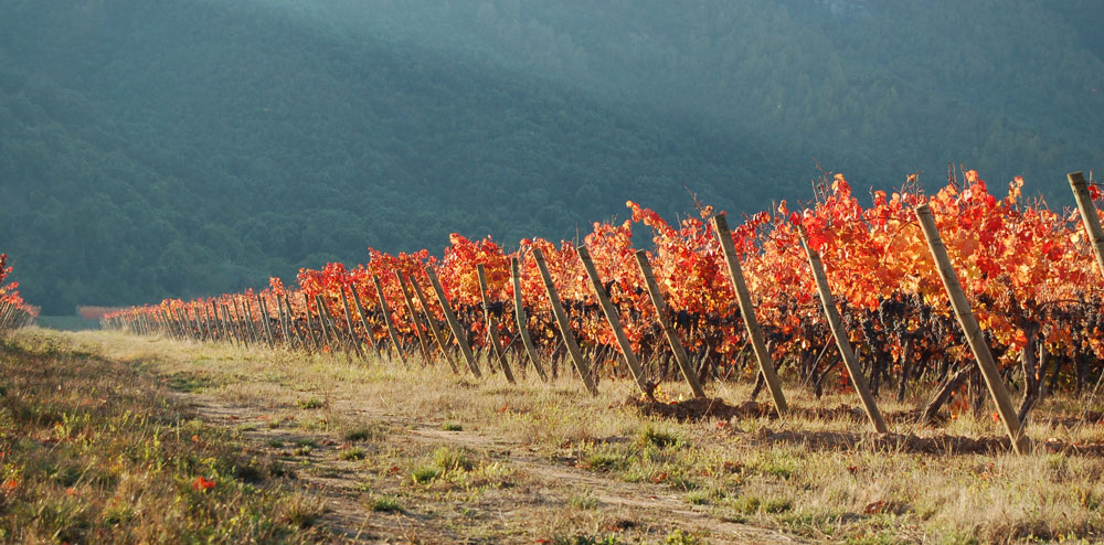 Organic vineyard in Chile Emiliana