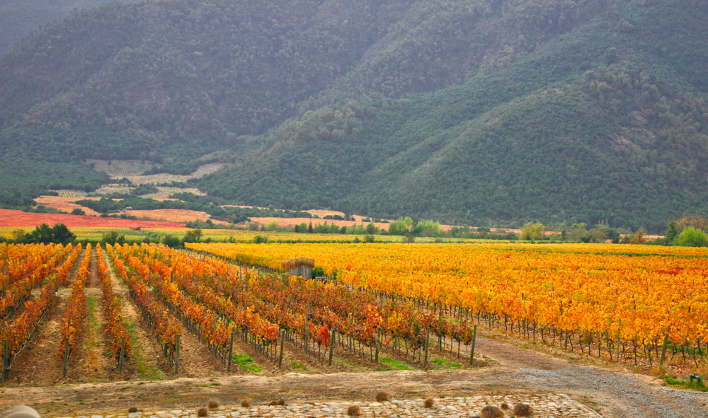 Organic vineyard in Chile
