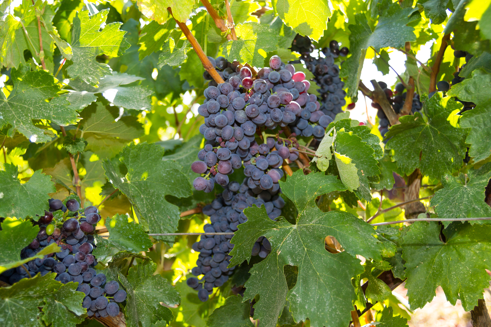 Selected varieties of healthy, ripe and juicy red wine grapes ready to be harvested.