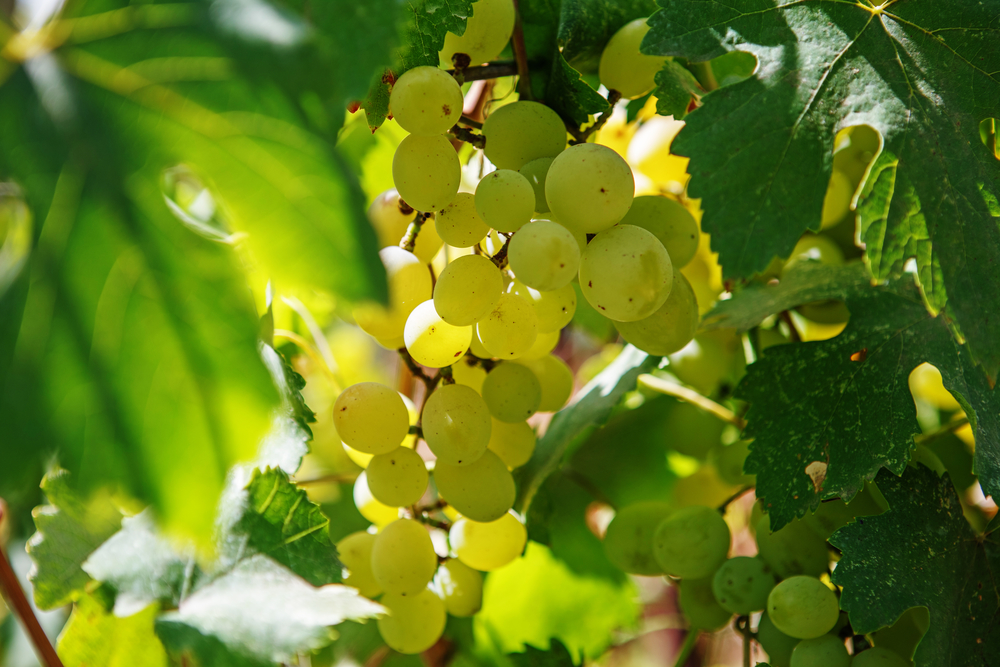 Large bunch of white wine grapes hang from a vine. Ripe grapes with green leaves. Wine concept.