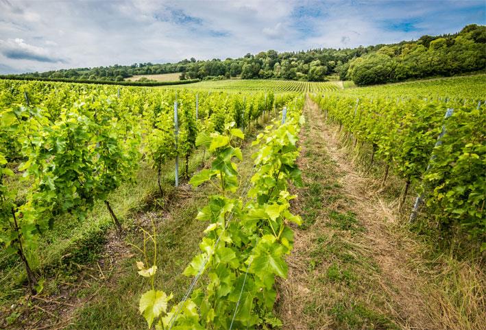 vines wine surrey hills