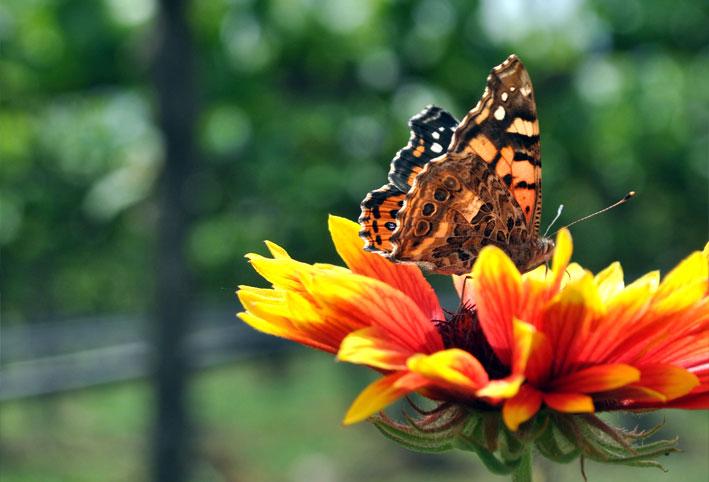 butterfly flower vineyard