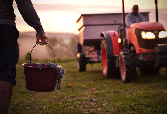 grapes picking