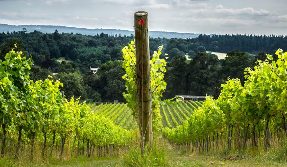 Vineyard in the Surrey hills