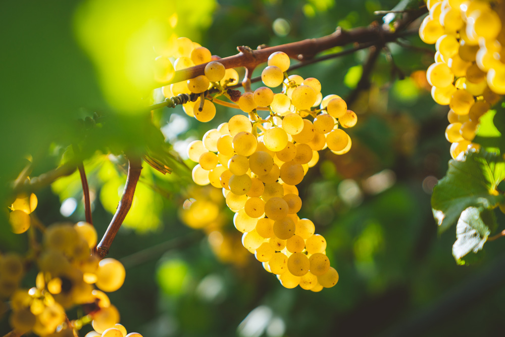 Organic Chardonnay grapes hanging from vine